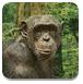 营救小黑猩猩